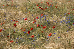 Fiori in campagna! (Claudia Zuber) Tags: flower flowers frence povence moonblumen papaveri