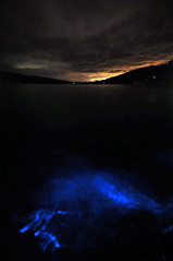 Bioluminescence | Eaglehawk Neck, Tasmania (Ping Timeout) Tags: tasmania tassie state australia vacation holiday june 2017 island south commonwealth oz bass strait hobart tas outdoor dark black pitch night eaglehawk neck algae plankton bay inner nature sea sparkle glow blue dinoflagellates weed sand planet water surface noctiluca scintillans light