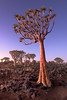 Quiver Trees in the Rocky Desert at Dusk, Keetmanshoop, Namibia (ansharphoto) Tags: africa african aloe arid bark black blue branches bush desert dichotoma dry dusk evening forest giant granite grass green keetmanshoop landscape light magical mystical namib namibia national natural nature outdoor park plant quiver rocks scenery scenic sky south southern stone tranquil travel tree twilight unspoiled unusual view wild wilderness wood