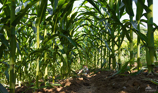 Monica Inside The Maize Field