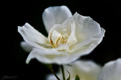 ~~ Tout en délicatesse ~~ (Joélisa) Tags: rose fleur flower macro nikon gouttelettes pluie eai nature juillet2017