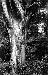 kievIIaj12fo400024 (salparadise666) Tags: kiev iia jupiter 12 35mm fomapan 400 caffenol cl 32min nils volkmer rangefinder russian camera analog tree contrast nature bw black white monochrome hannover region germany niedersachsen contax copy analogue film