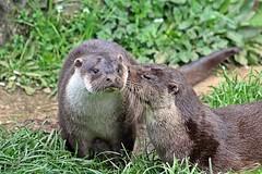 """give us a kiss then"" - Dartmoor Otters and Buckfast Butterflies, Buckfastleigh, Devon - April 2017 (Dis da fi we (was Hickatee)) Tags: dartmoor otters buckfast butterflies buckfastleigh devon otter kiss nature two"