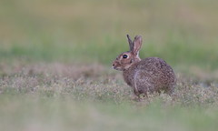 Lapin de garenne (guiguid45) Tags: nature sauvage animaux mammifères loiret d810 nikon 500mmf4 lapindegarenne rabbit lapin oryctolaguscuniculus affût