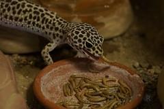 20170701X1819_Leopardgecko_0123 (RascheBilder) Tags: leopardgecko raschebilder