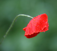A Wet Poppy (Barry Miller _ Bazz) Tags: red flower canon poppy llens 70200mmf28iil canon5dmark3 raindrop boken