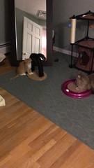 IMG_6536 (mary2678) Tags: tewksbury massachusetts ma kitty kitten cat maine coon chele kvothe