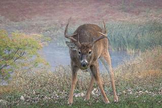 Whitetail Deer Sketch