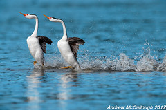 Dancing (Rushing) Clark's Grebes (Let there be light (A.J. McCullough)) Tags: oregon birds grebe clarksgrebe dancinggrebes rushinggrebes courtship klamathfalls putnamspoint