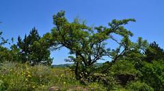 Spreading hawthorn (МирославСтаменов) Tags: russia caucasus kislovodsk mountain hawthorn crataegus shrub tree crown ledge sky