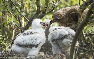 Buzzards Feeding