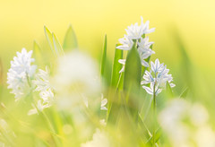 a touch of blue (JimfromCanada) Tags: snowdrop russiansnowdrop flower spring grass small hide blue yellow season blur bokeh blossom ontario canada sunny garden hidden green warm