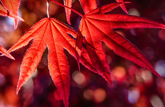 """Radiant Beauty""  Japanese Maple Leaves (Cathy Lorraine) Tags: japanesemapleleaves rogersgardens newportbeach california radiant vibrant beauty nature tree foliage leaves red bokeh outdoors ngc npc coth5 alittlebeauty"