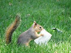 Heavy Duty Tissue For Heavy Duty Allergies (fairywild) Tags: funny squirrel sneeze tissue allergies nose blowing cute animal green grass