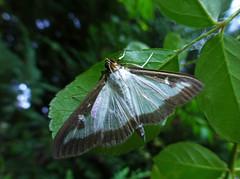 Moth (ArtGordon1) Tags: moth insect walthamstow london uk summer davegordon davidgordon daveartgordon davidagordon daveagordon artgordon1