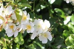 IMG_4943 (Julecu) Tags: blossom flower flowers white shrub nature summer flowering