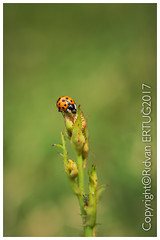 """Close up of 16-spot Ladybird /   Coccinella septempunctata (I'll catch up with you later, your comments and cr) Tags: nikond610fx rertug nikon60mmf28 macro ladybird ladybug insect """"nikonflickraward"""""""