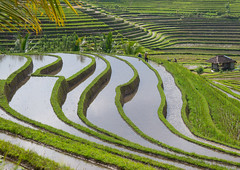 The terraced rice fields, Bali island, Jatiluwih, Indonesia (Eric Lafforgue) Tags: 4people agricultural agriculture asia asian bali2032 balinese breathtaking countryside crops cultivated culture farming farmland fields fourpeople green growing horizontal indonesia indonesian irrigation landscape lush menonly nature nopeople outdoors paddies reflection ricefields ricepaddies riceterraces rural scenery scenic subak terracefarming terraced terraces terracing unescoworldheritagesite verdant village water jatiluwih baliisland