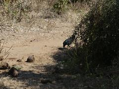 P1180342 Lower Zambezi National Park Zambia (10) (archaeologist_d) Tags: lowerzambezinationalpark zambia guineafowl africa southernafrica safari