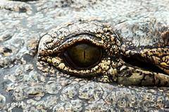 L'oeil de Sauron? / Sauron's eye? (Nicolas Rouffiac) Tags: animal animals animaux reptile reptiles nature alligator crocodile sauron eye look oeil yeux eyes fear regard peur