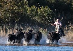 2016 Best Bulls in Camargue (14) (maskirovka77) Tags: vauvert languedocroussillonmidipyrén france languedocroussillonmidipyrénées fr