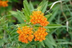 Kristen Martyn- Butterfly Weed, 20170630 (2) (KristenMartyn) Tags: flower nativeplants gardening garden indoorplants plants flora ontario outdoor tour tours wildflower wildflowers nativeplant butterflyweed milkweed asclepiastuberosa butterfly