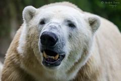Eisbär (ab-planepictures) Tags: eisbär bear bär zoo wuppertal tier animal