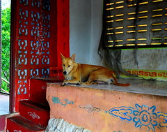 ,, Mama, Spirit House ,, (Jon in Thailand) Tags: mama jungle monkeytemple dog k9 worrieddog red yellow blue green dogeyes dogears nose d300 dogtail steps spirithouse nikon nikkor 175528 monkeyinvasion worriedeyes littledoglaughedstories