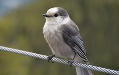 Tight rope walker (naromeel) Tags: banff canada nature birds animal