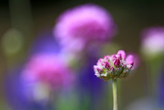 Little pink one - Armeria maritima 'Rosea' (eleni m (busy remodeling house)) Tags: pink bud flowers engelsgras armeriamaritima outdoor garden quote dof blue green bokeh plant stem rosea