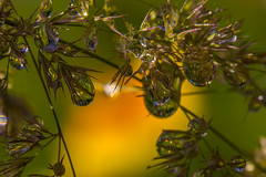 Come with us to a dreamland! (lkiraly72) Tags: droplet macro closeup waterdroplet plant flower grass nature yellow reflection dof flowersmacroworld