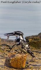 Pied Kingfisher (Ceryle rudis) (Balaji Bharadwaj) Tags: piedkingfisher blackandwhite ousteri pondicherry