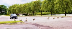 Traffic Delay (Wes Iversen) Tags: belleisle canadageese detroit michigan nikkor24120mm birds bridges cars crossing digitalart painterly roads trees water waterbirds wildlife