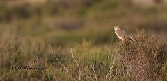Veldleeuwerik / Alauda arvensis (m.ritmeester) Tags: ngc naturelovers natuur nederland bruin gelderland groen veluwe hoenderloo holland veldleeuwerik vogel