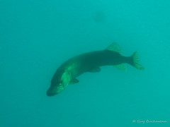 brochet-2017-07-08-à-10-10-2 (opa guy) Tags: alsace basrhin france grandest gravièredufortholztheim poissonfishfisch brochet poissondeaudouce underwaterdivingtauschenplongée