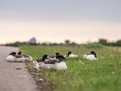 Even lazier day... (Jan R. Ubels) Tags: vogel bird em1 olympus olympusem1 netherlands nederland thorntje texel road weg straat ganzen geese goose gans