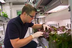 Paul Zabel kontrolliert Salat (Sorte: Outredgeous) im EDEN:ISS Gewächshaus