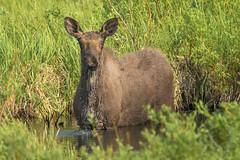 Young Bull Moose (Amy Hudechek Photography) Tags: bull moose colorado summer water stream eating wildlife nature amyhudechek rooseveltnationalforest
