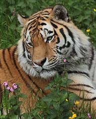 amurtiger taymir Ouwehands JN6A3766 (joankok) Tags: tiger tijger amoertijger amurtiger siberischetijger siberiantiger pantheratigrisaltaica ouwehands kat cat mammal zoogdier dier animal asia azie