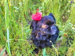 Зверушки 0394 (2016.05.21) (vladsky78) Tags: ильичёвск животные зелень цветы поле собака