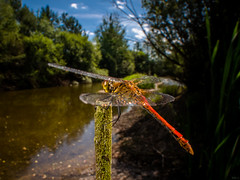 From one island to the next (Eifeltopia) Tags: pond dragonfly libelle blutroteheidelibelle insel südeifel germany wideanglemacro wamp laowa 15mmf4 weitwinkel makro island wasser water beautyinnature ruddydarter sympetrumsanguineum oase oasis odonata brancoconsdorf