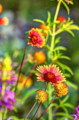 wildflowers (JoelDeluxe) Tags: southvalley newmexico nm deluxevalleyorchards peaches flowers red orange yellow green joeldeluxe
