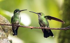 IMG_1937 Green-crowned Brilliant (suebmtl) Tags: bird birding mindo milpe mindocloudforestreserve hummingbird pichinchaprovince ecuador greencrownedbrilliant heliodoxajacula