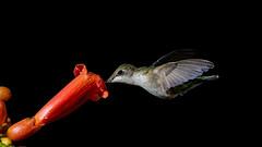 Ruby-throat (snooker2009) Tags: bird hummer hummingbird ruby throat nature wildlife pennsylvania trumpet vine flower orange spring summer