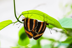 20170707-IMG_7033 (SGEOS@EARTH) Tags: butterfly vlinder passieflorahoeve harskamp outdoor colourfull insect nature wildlife travel holland tropical garden vlindertuin macro macrolens 100mm