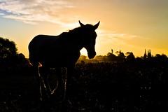 La cavalla e il tramonto (Wal Wsg) Tags: lacavallaeiltramonto layeguayelatardecer caballo yegua equino horse sunset atardecer atardece ocaso campo field animal mundoanimal animalworld canoneosrebelt3 argentina
