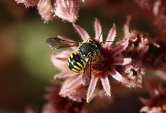 little Bee (Hugo von Schreck) Tags: hugovonschreck macro insect insekt makro bee biene canoneos5dsr tamron28300mmf3563divcpzda010 onlythebestofnature givemefive
