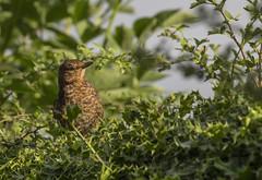 Baby Blackbird (LindaShaws Images) Tags: blackbird baby wildlife hedgerow mottled holly hawthorn countryside countrylane common turdusmerula chordata popular