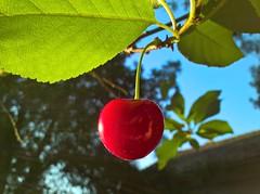 1Shot_20170609_061144 (vale 83) Tags: cherry microsoft lumia 550 friends macrodreams wpphoto wearejuxt rotrossorougerood coloursplosion colourartaward flickrcolour beautifulexpression
