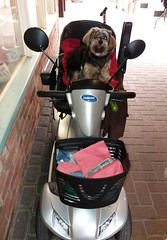 Flo Yorkie Poo Dog on Mobilty Scooter (@oakhamuk) Tags: flo yorkiepoo dog mobiltyscooter